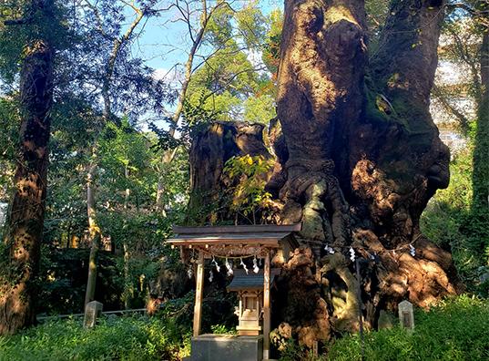 「大楠五色の杜」での屋外神前も人気!樹齢2000年超の神木が見守る<br/>厳かな場所で絆を結ぶウェディングを